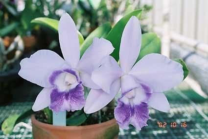 Laeliocattleya Mini Purple 'Blue Pacific' (pumila x walkeriana)