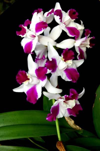 Laeliocattleya Purple Cascade 'Shang Beauty'