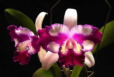 Laeliocattleya Taiwan Beauty 'Dubble Face' (C. Interglossa x Lc. Shellie Compton)