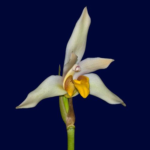 Lycaste longipetala x Maxillaria grandiflora