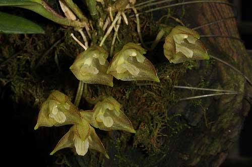 Masdevallia campyloglossa