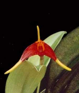 Masdevallia carpishica