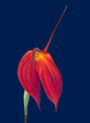 Masdevallia coccinea dark