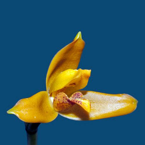 Maxillaria discolor
