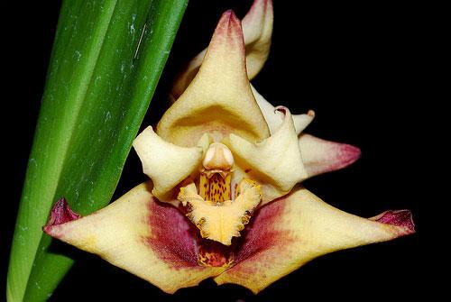 Maxillaria Fabricio Suarez