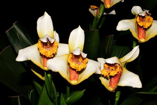 Maxillaria fletcheriana