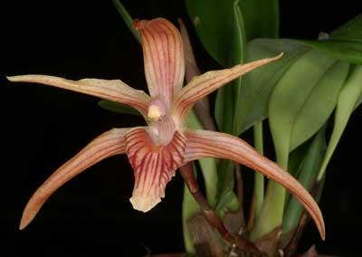 Maxillaria grandimentum