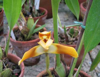 Maxillaria perryae