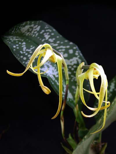 Maxillaria reichenheimiana