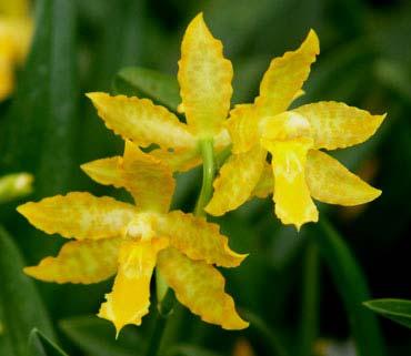 Odontoglossum Geyser Gold 'Okika'