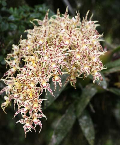 Odontoglossum gloriosum