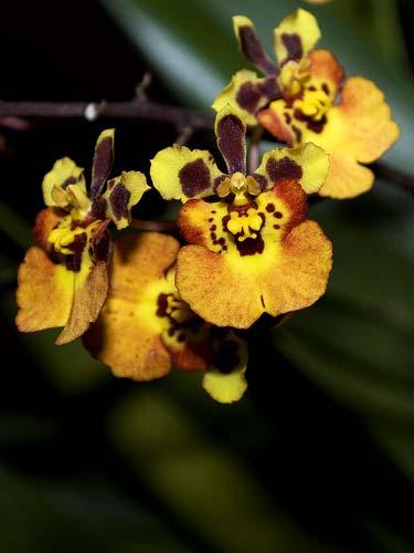 Oncidium (Tolumnia) Jairak Rainbow yellow