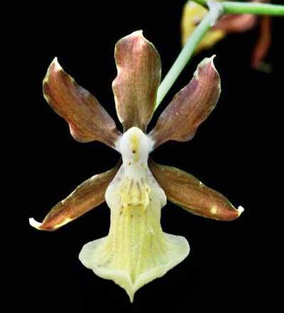 Oncidium brachyandrum