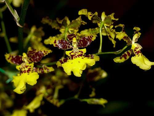 Oncidium Golden Anniversary 'Hildos'