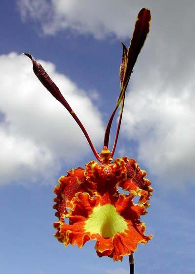 Oncidium Papilio