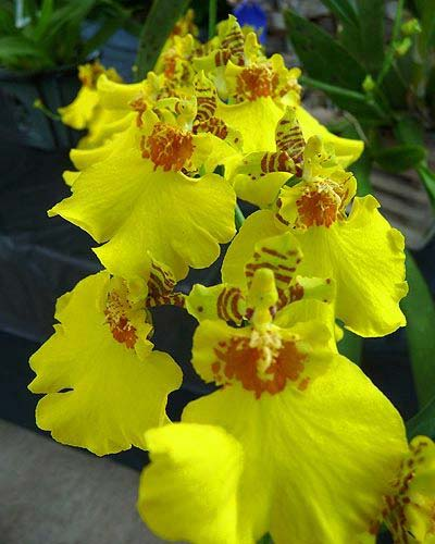 Oncidium Sweet Sugar 'Yellow King'