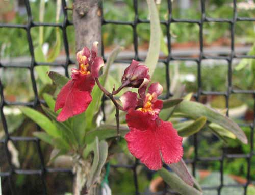 Oncidium (Tolumnia) Popoki Red