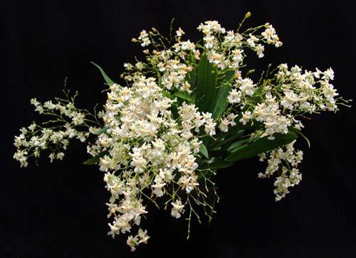 Oncidium Twinkle 'Fragrance Fantasy'