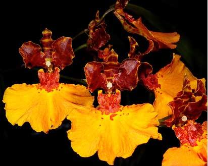Oncidium zappii x Comparettia speciosa