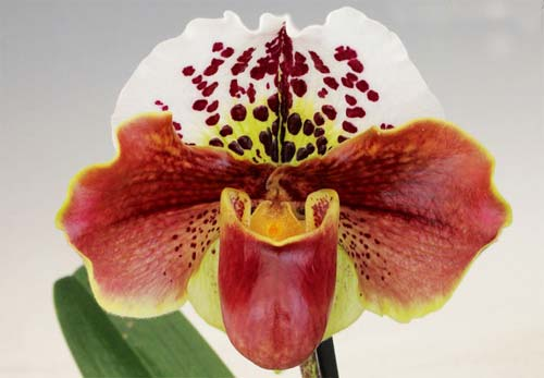 Paphiopedilum Arafura Sea x New Generation