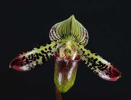 Paphiopedilum argus
