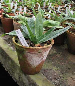 Paphiopedilum barbatum x primulinum