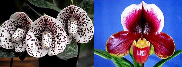 Paphiopedilum bellatulum x (Lippestern x Richardson)