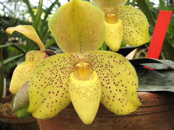 Paphiopedilum concolor x sib