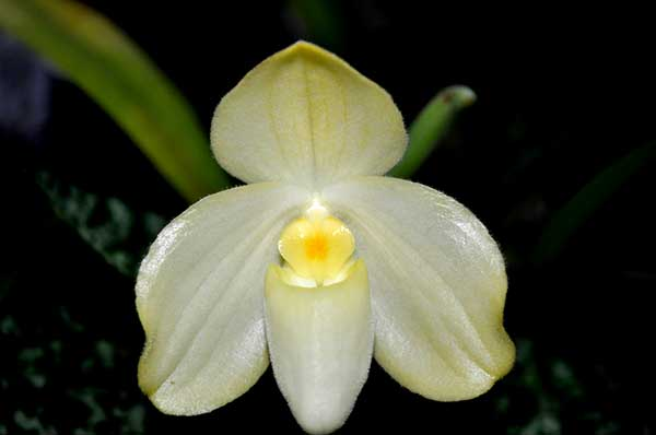 Paphiopedilum concolor var album