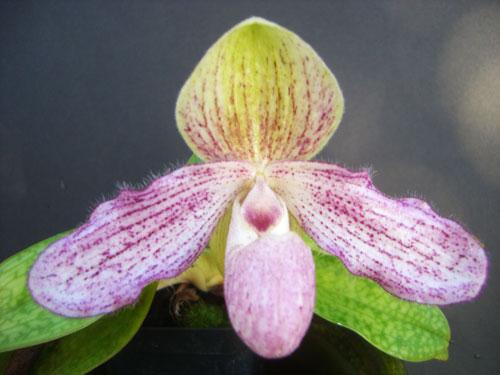 Paphiopedilum concolor x liemianum