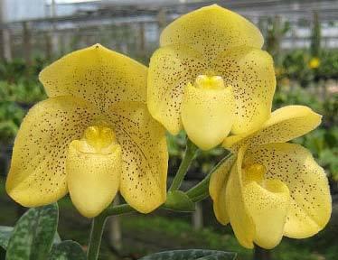 Paphiopedilum concolor 'Yellow Round'