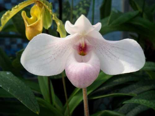 Paphiopedilum delenatii 'Giant' x Paphiopedilum hangianum 'Hsiao'