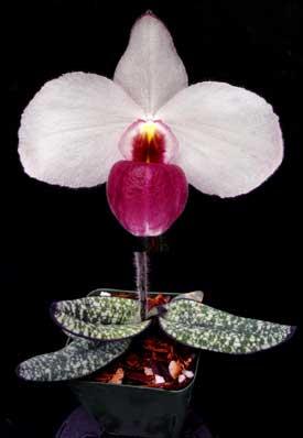 Paphiopedilum delenatii 'Giant' x sib 'Black Foligue'