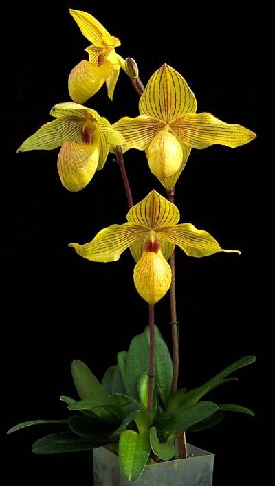 Paphiopedilum Dollgoldi (armeniacum x rothschildianum)