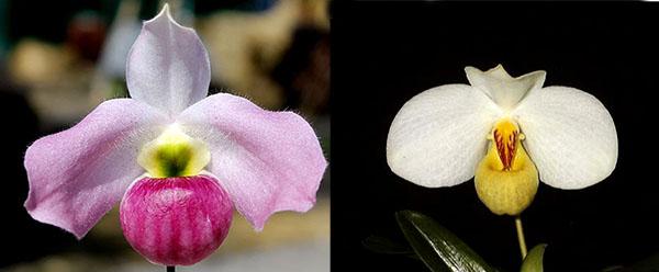 Paphiopedilum emersonii '#1' x Paphiopedilum vietnamense '#5'