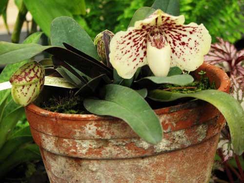 Paphiopedilum godefroyae f. leucochilum