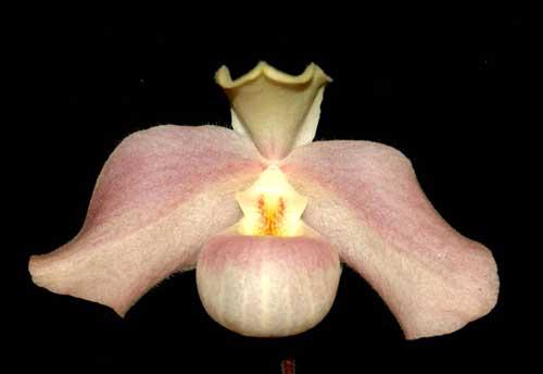 Paphiopedilum hangianum 'Hsiao' x Paphiopedilum vietnamense 'Huei'