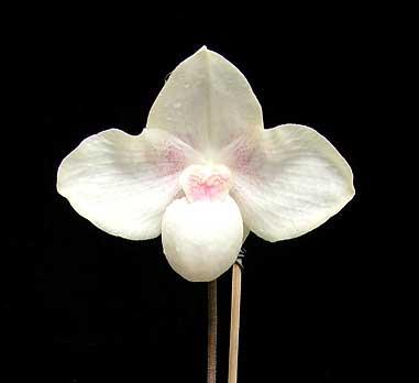 Paphiopedilum hangianum x Paphiopedilum niveum 'Huge'