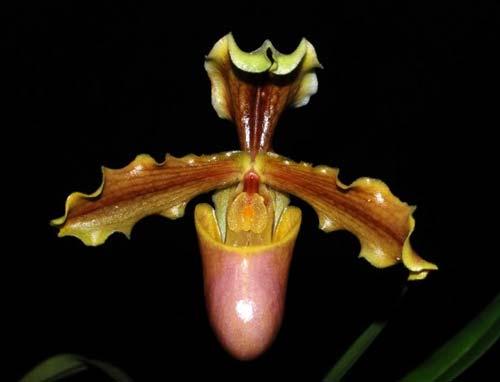 Paphiopedilum herrmannii