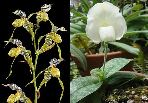 Paphiopedilum kolopakingii topperi x leucochilum alba