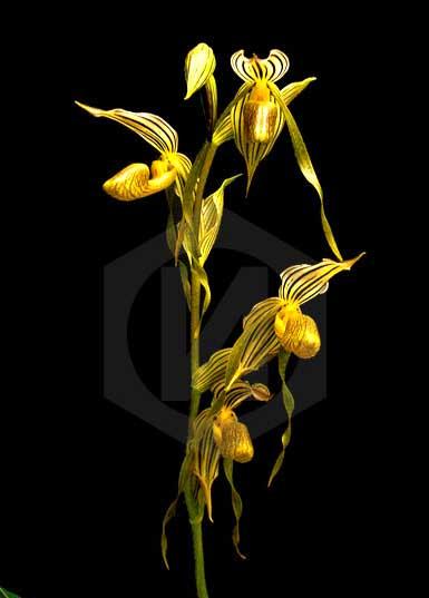 Paphiopedilum kolopakingii var. topperi
