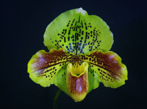 Paphiopedilum Lippewunder 'In-Charm' x Paphiopedilum In-Charm White 'In-Charm'