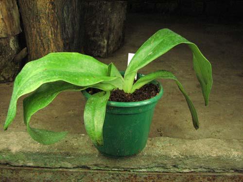 Paphiopedilum moquetteanum x anitum