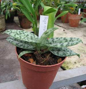 Paphiopedilum robinsonii