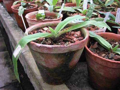 Paphiopedilum spicerianum × sib