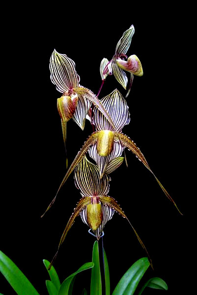 Paphiopedilum St Swithin (philippinense x rothschildianum)