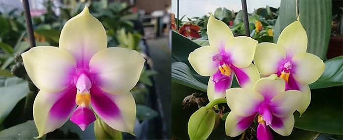 Phalaenopsis bellina 'LD' x bellina 'Lee'