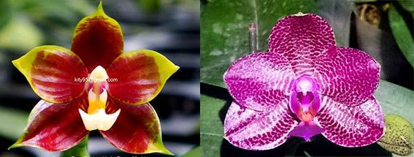Phalaenopsis Al Green Eagle x Mituo Sun