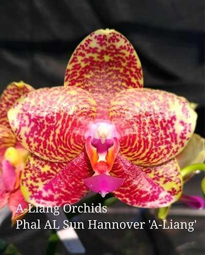 Phalaenopsis AL Sun Hannover 'A-Liang' (MC)