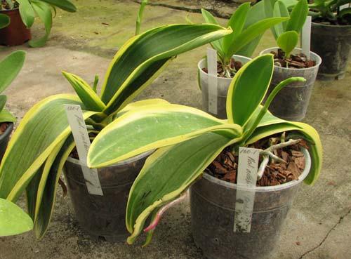 Phalaenopsis amabilis 'ORCHIS'